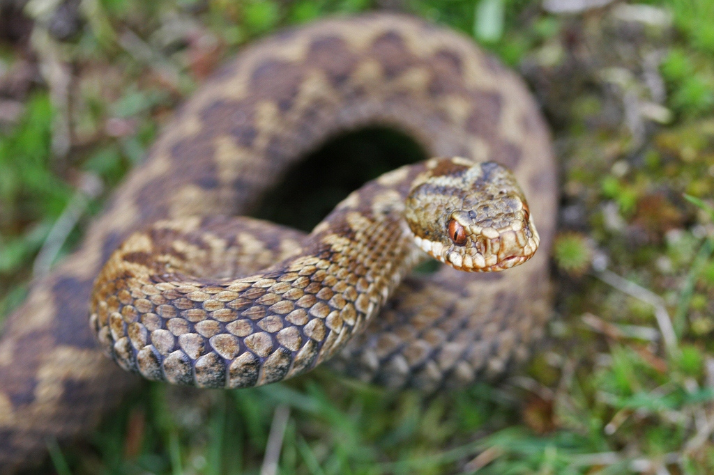 Female adder with good view of vertical pupils (Thomas Brown)