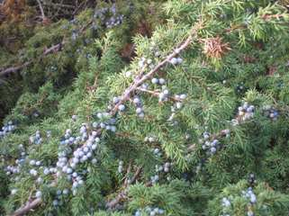 Berries of the juniper plant are traditionally used to flavour gin