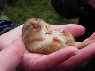 Male dormouse found in an autumn survey in a woodland near Clocaenog