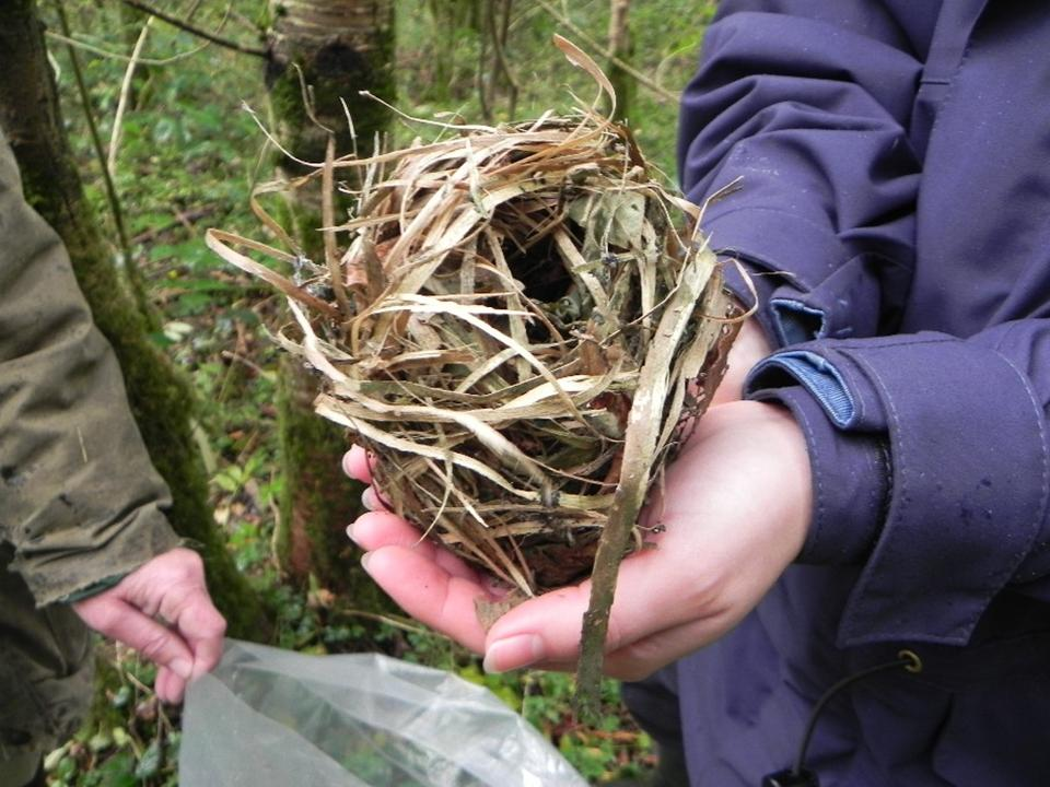 Dormouse nest (Angela Smith)