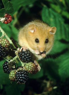 Dormouse - one of the species that will benefit from the project