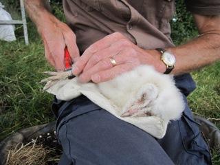 Denbighshire Countryside Service - Barn owl