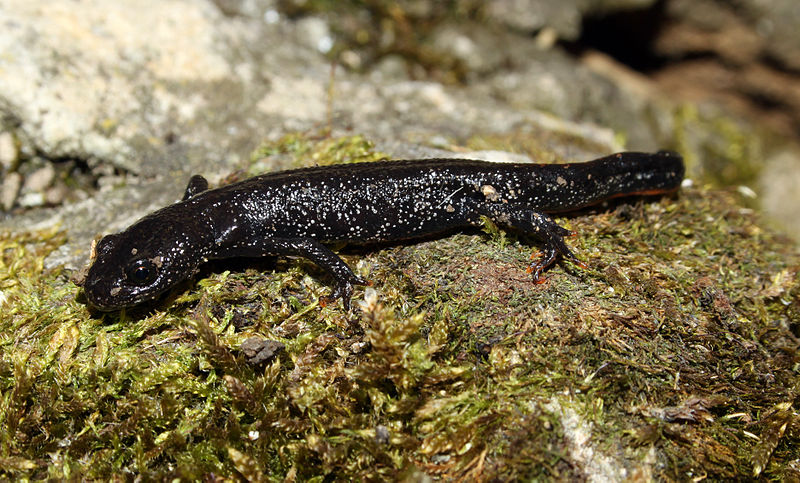 ... the terrestrial phase great crested newts lose their crests (H Krisp
