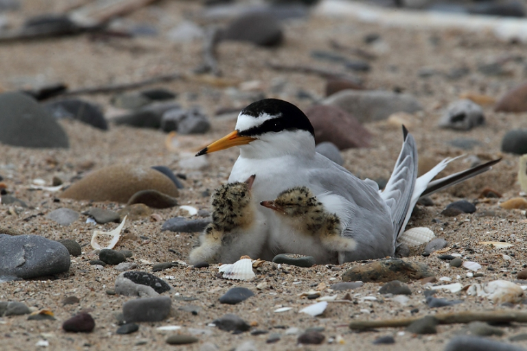 Little tern brooding young (John Power)