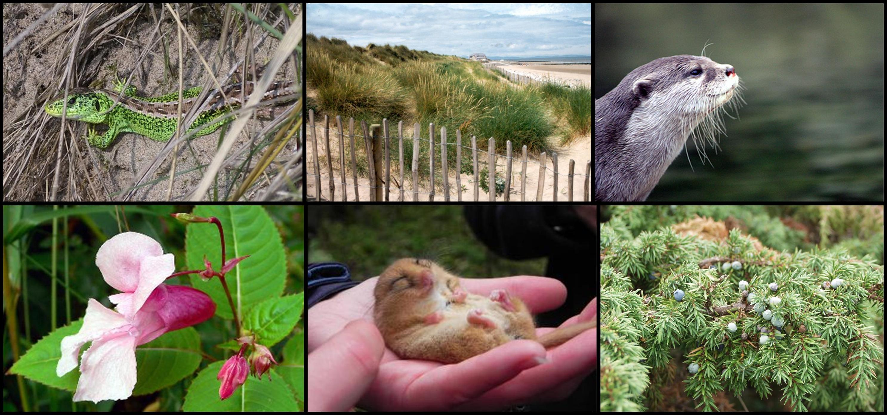 Clockwise from top left: sand lizard (Mick Brummage), Gronant dunes, otter, juniper (Sarah Bird), dormouse (Angela Smith), Himalayan balsam