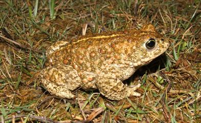 Natterjack toad has a distinctive yellow stripe down its back (Sam Dyer)