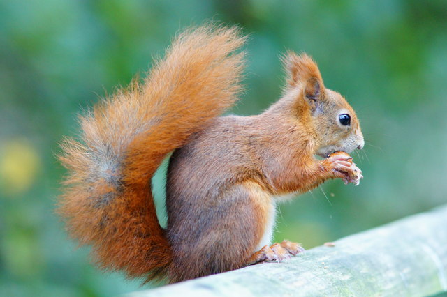 Red squirrel (Peter Trimming)