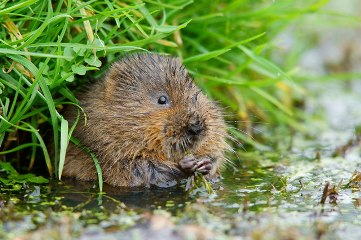 Water voles can feed on over 200 different plant species (Peter Trimming)