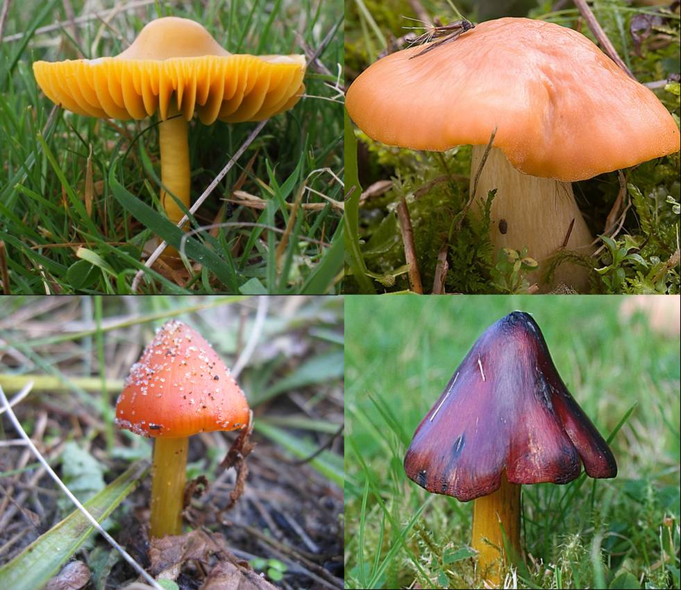 Clockwise from top left: parrot waxcap (Doug Lee), meadow waxcap (Amadej Tmkoczy), blackening waxcap (Anne Burgess), dune waxcap
