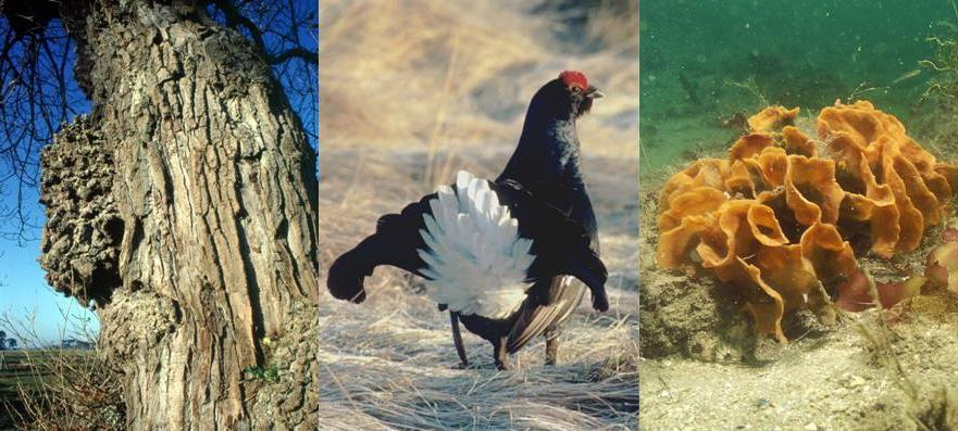 Black poplar, black grouse and coral - examples of biodiversity
