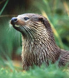 The European otter is recovering well and is now found in every county of Wales