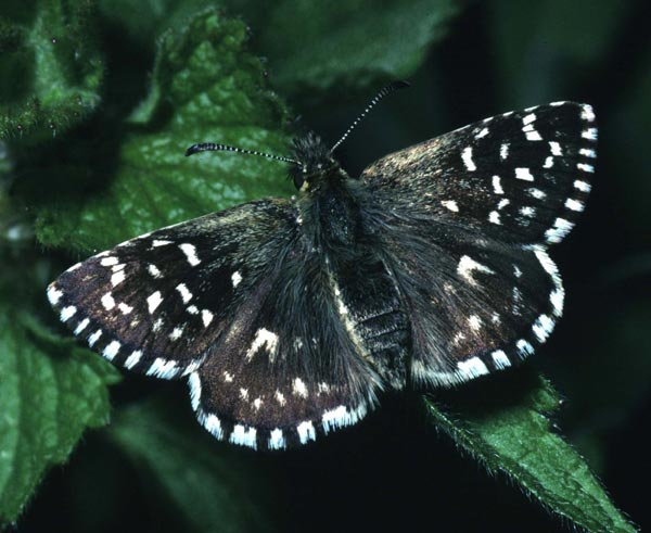 Grizzled skipper (Natural England)