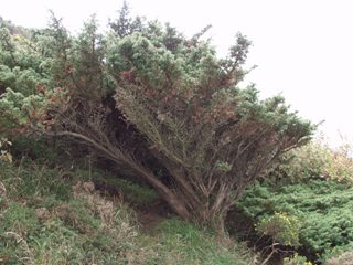 A mature juniper plant at Prestatyn Hillside (Sarah Bird)