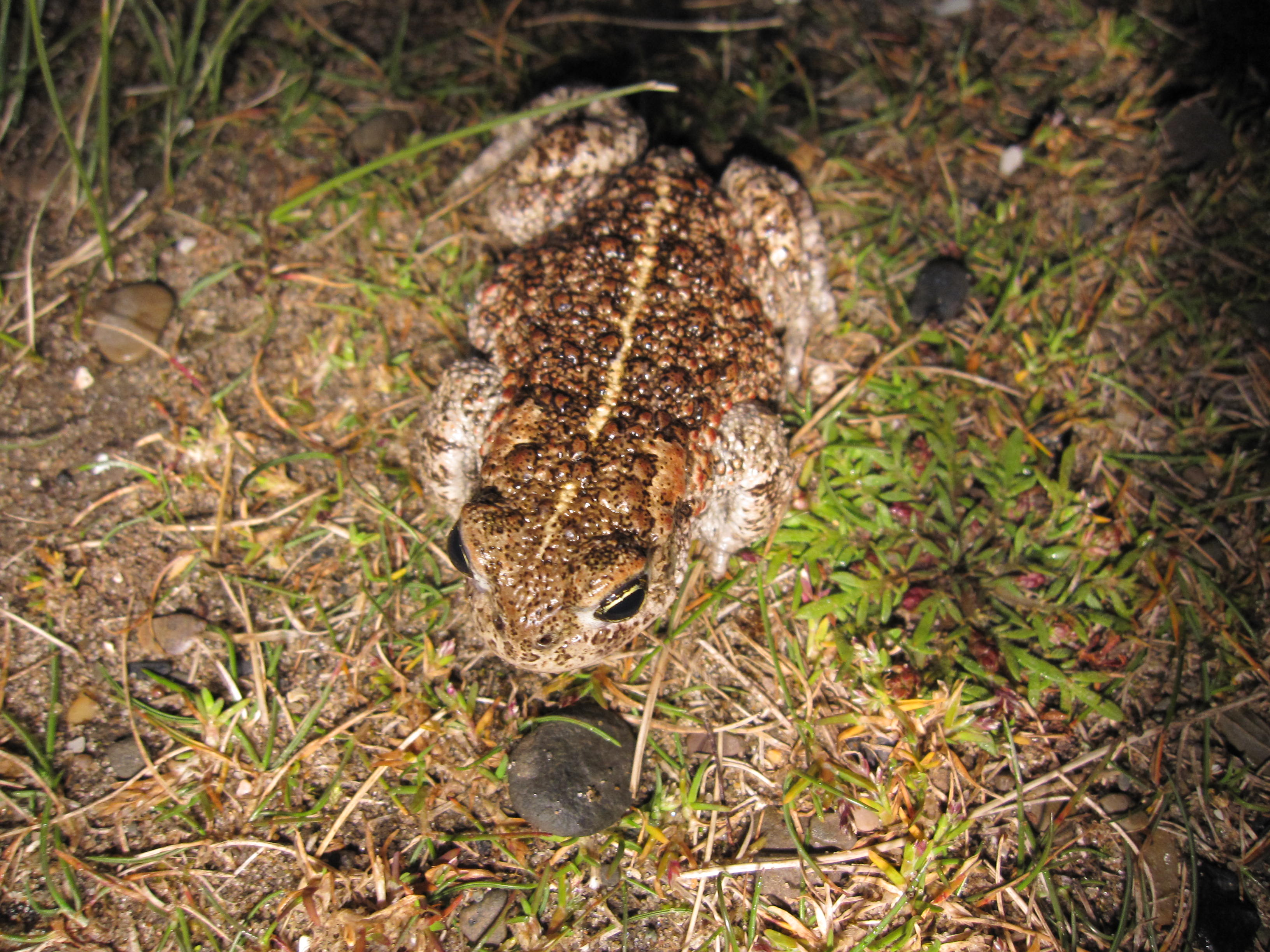 Natterjack toads have a bright yellow stripe down their backs.