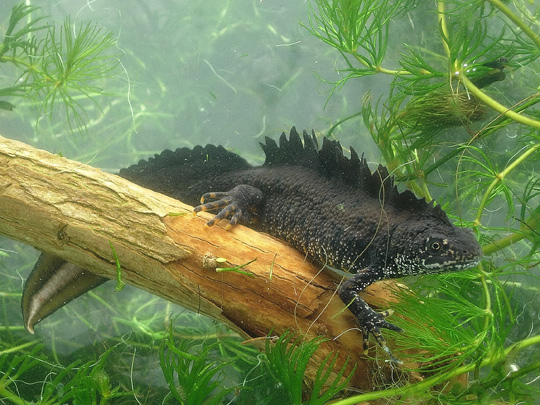 Male great crested newt with large crest (James Grundy)