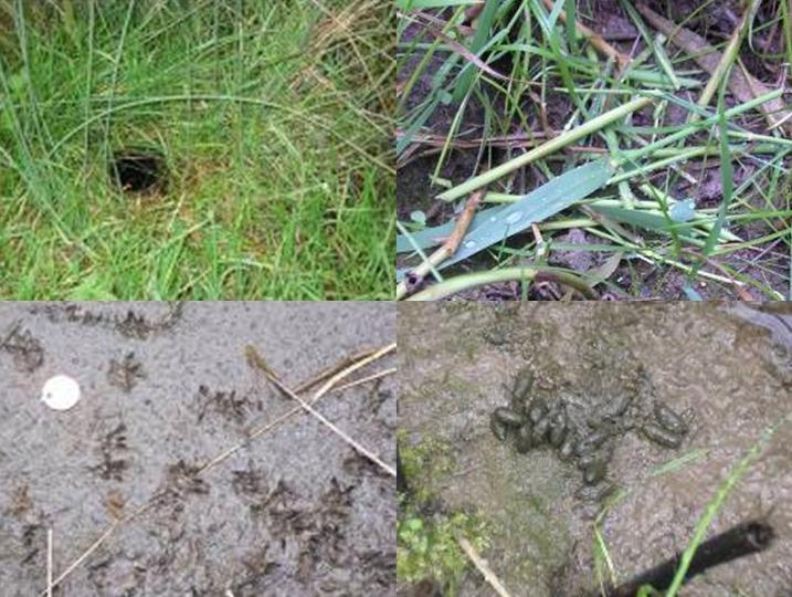 Clockwise from top left: burrow, feeding pile, droppings and footprints